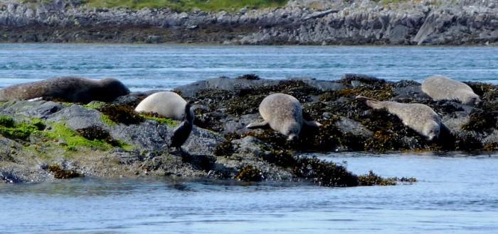 Loch Etive Seals